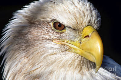 Photograph - Eagle Eye by Andrea Everhard