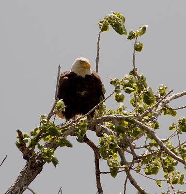 Photograph - Eagle Eye by Trent Mallett