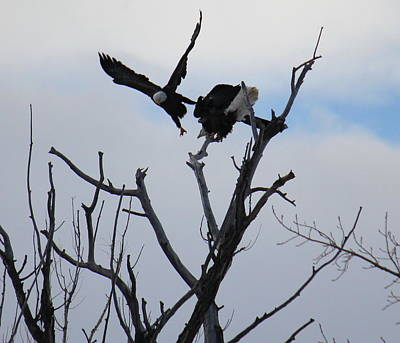 Photograph - Eagle Fight 4 by Trent Mallett