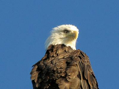 Photograph - Eagle On The Spit by Lisa Dunn