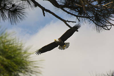 Photograph - Eagle Returns To The Nest by Michael Gooch