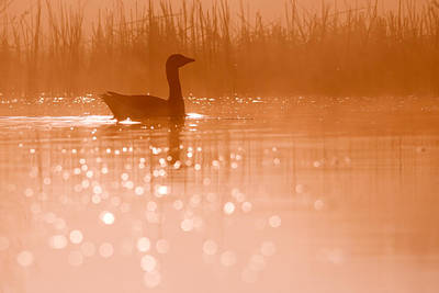 Duck Wall Art - Photograph - Early Morning Magic by Roeselien Raimond