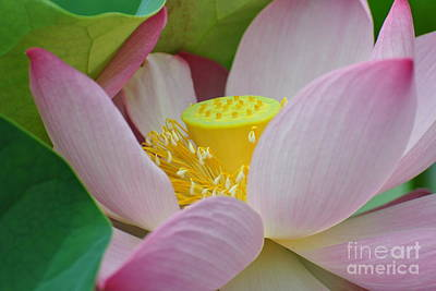 East Indian Lotus Art Print