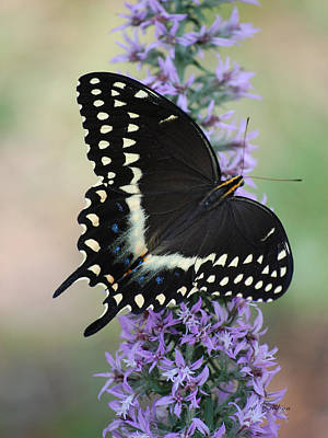 Photograph - Eastern Black Swallowtail Butterfly by rd Erickson