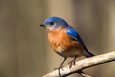 Eastern Bluebird Male 7 Art Print by Douglas Barnett