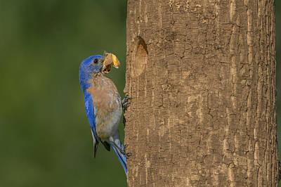 Butterfly Prey Photograph - Eastern Bluebird  by Susan Candelario