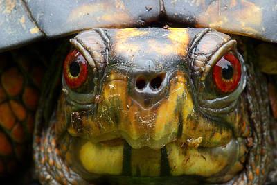 Box Turtle Photograph - Eastern Box Turtle 2 by Michael Eingle