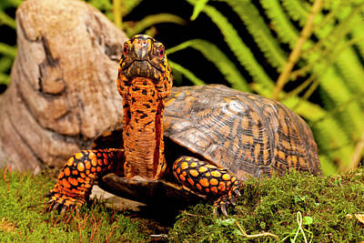 Box Turtle Photograph - Eastern Box Turtle, Terrapene Carolina by David Northcott