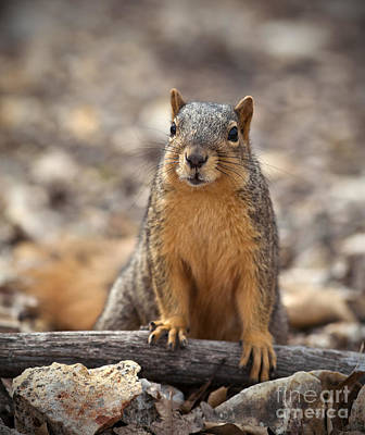 Eastern Fox Squirrel Photograph - Eastern Fox Squirrel by Brandon Alms