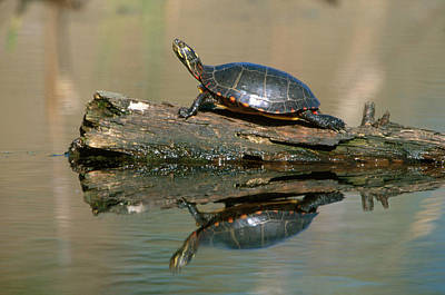 Painted Turtle Photograph - Eastern Painted Turtle by Paul J. Fusco