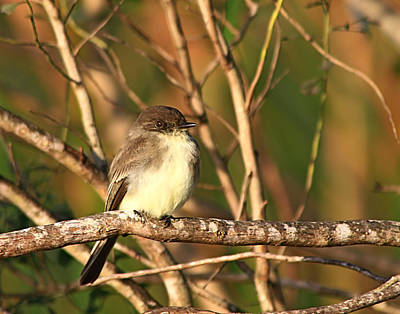 Photograph - Eastern Phoebe by Ira Runyan