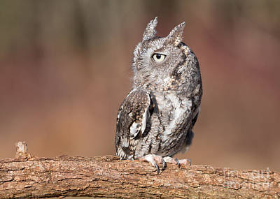 Photograph - Eastern Screech Owl by Joshua Clark