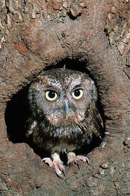 Photograph - Eastern Screech Owl by Millard H. Sharp