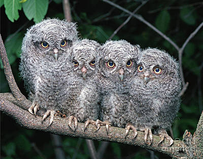 Owlets Photograph - Eastern Screech Owls by Ron Austing