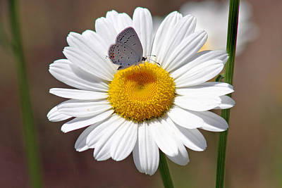 Butterfly Blue Pincushion Flower Photograph - Eastern Tailed Blue Butterfly On Daisy by Karen Adams
