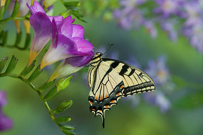 Blue Swallowtail Photograph - Eastern Tiger Swallowtail Butterfly by Darrell Gulin