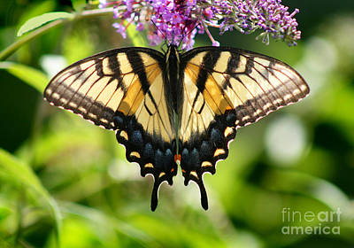 Eastern Tiger Swallowtail Butterfly Art Print by Karen Adams