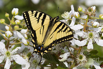 Eastern Tiger Swallowtail Print by Linda Freshwaters Arndt