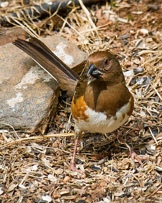 Photograph - Eastern Towhee - Female by Robert L Jackson