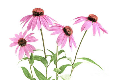 Coneflower Photograph - Echinacea Purpurea Flowers by Elena Elisseeva
