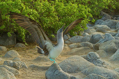 Boobies Photograph - Ecuador, Galapagos National Park, San by Jaynes Gallery