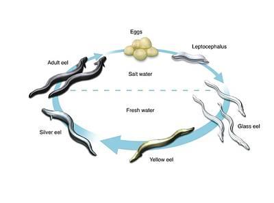 Eel Life-cycle Art Print
