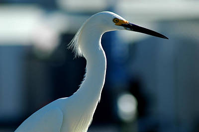 Photograph - Egret Of Matlacha 2 by David Weeks