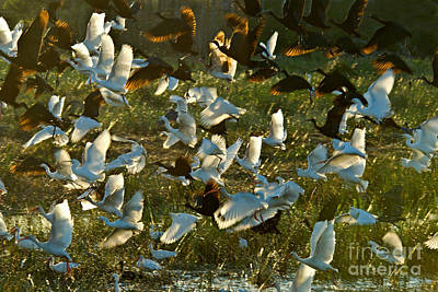 American White Ibis Photograph - Egrets And Ibises by Mark Newman
