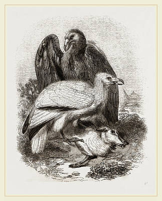 Vulture Drawing - Egyptian Vultures by Litz Collection