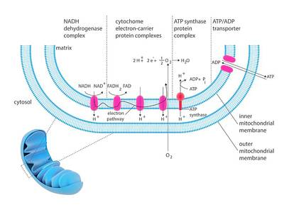 Atp Photograph - Electron Transport System by Science Photo Library