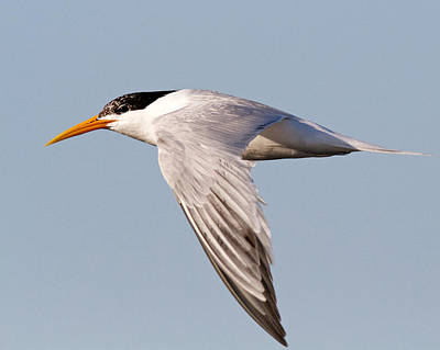 Photograph - Elegant Tern by Steve Kaye