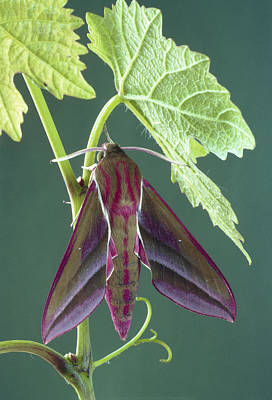 Photograph - Elephant Hawkmoth by Perennou Nuridsany