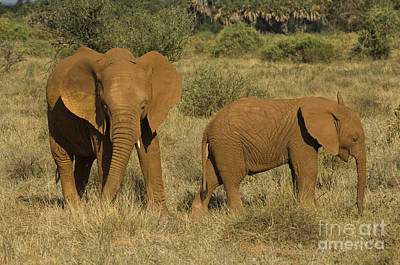 Photograph - Elephants Covered In Red Dust by John Shaw