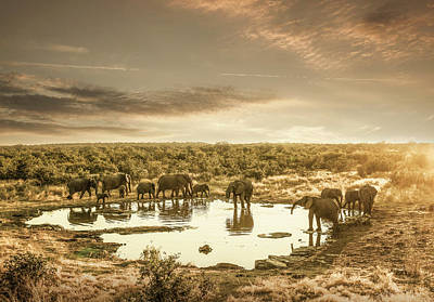 Animal Family Photograph - Elephants Drinking At A Pond by Buena Vista Images