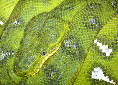 Robert Jensen Photograph - Emeral Tree Boa by Robert Jensen