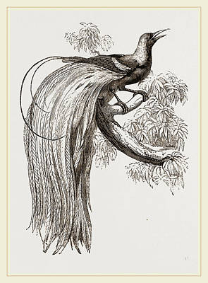 Biological Drawing - Emerald Bird Of Paradise by Litz Collection