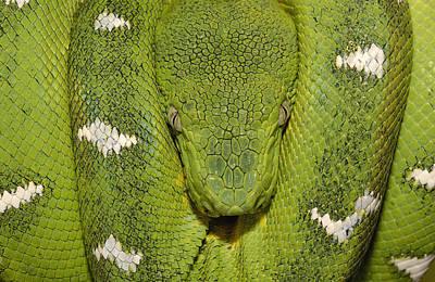 Photograph - Emerald Tree Boa Amazonian Ecuador by Pete Oxford
