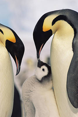 Three Chicks Photograph - Emperor Penguin Parents With Chick by Konrad Wothe