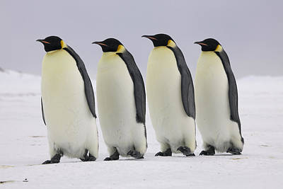 Penguin Photograph - Emperor Penguins Walking Antarctica by Frederique Olivier
