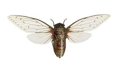 Cicada Photograph - Empress Cicada by Science Photo Library