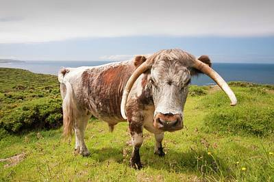 Sennen Photograph - English Long Horn Cattle by Ashley Cooper