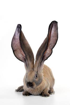 Unusual Animal Photograph - English Lop Rabbit by John Daniels