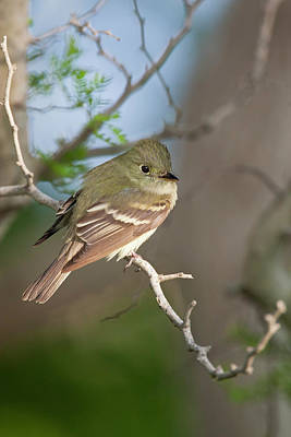 Flycatcher Photograph - Epidonax Species Of Flycatcher At South by Larry Ditto