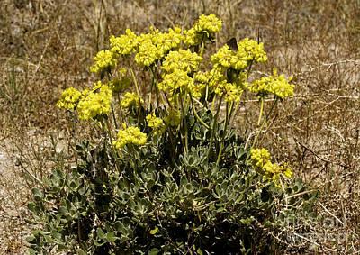 Eriogonum Photograph - Eriogonum Umbellatum by Bob Gibbons