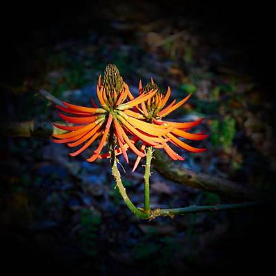 Photograph - Erythrina Speciosa by Jouko Lehto