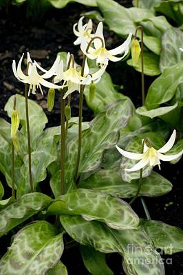 Fawn Lily Photograph - Erythronium Californicum by Bob Gibbons
