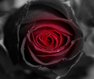 Eternally Yours Rose Art Print by Marie Neder