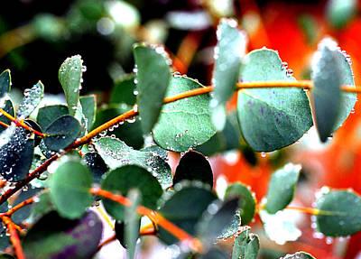 Photograph - Eucalyptus Raindrops by Robert  Rodvik