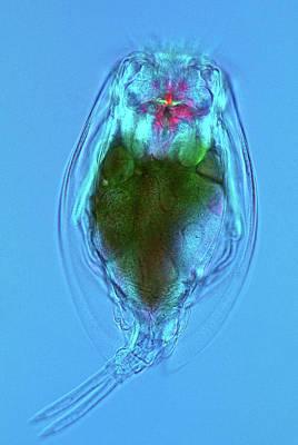 Microscopic Photograph - Euchlanis Rotifer by Marek Mis
