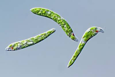 Unicellular Photograph - Euglena Deses Protist by Gerd Guenther